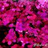 Fuchsia grove glitter